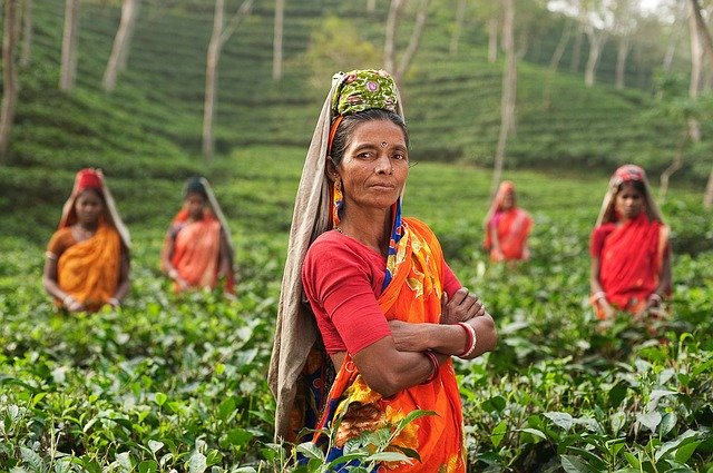 plantáž s čajem